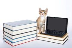 跨步在微型膝上型计算机类型的母白棉布tortie平纹小猫 免版税库存图片