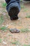 跨步在有毒欧洲蛇的游人 库存照片