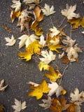 跨步在落的槭树道路  库存照片