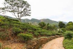 路和茶园领域在斯里兰卡 库存图片