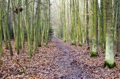路在一个橡木森林里在12月 库存图片
