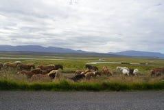路在冰岛-在街道上的马 库存图片