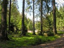路在冷杉木中运行 图库摄影