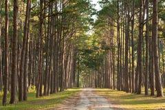 路在杉木森林里。 清迈泰国 库存图片
