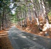 路在杉木森林里晴天。 免版税库存图片