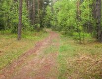 路在杉木森林里 免版税图库摄影