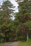 路在杉木森林里 免版税库存图片