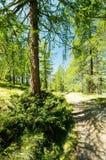 路在落叶松属森林里 免版税库存照片