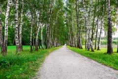 路径在桦树森林里 库存图片