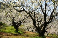 路径在dherry开花结构树下 库存照片