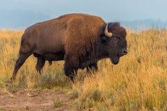 路旁北美野牛黄石国家公园 免版税图库摄影