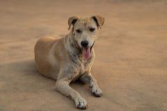 路旁狗不是被接种的狂犬病危险和 免版税库存图片