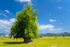 路旁结构树。 老挝。 图库摄影