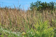 路易斯安那沼泽草 免版税库存照片