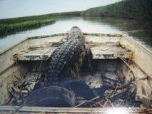 路易斯安那鳄鱼 免版税库存照片