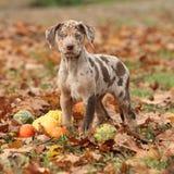路易斯安那Catahoula小狗在秋天 库存图片