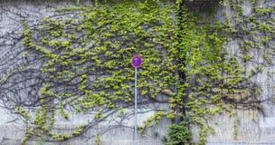 路标-中止被禁止 从上升的植物的背景在墙壁上 都市化的绿色 免版税库存图片