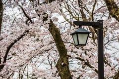 路灯柱和美丽的佐仓开花树 库存照片