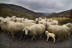路绵羊 库存照片