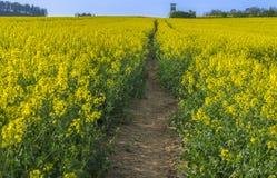 路通过一个开花的油菜籽领域 库存照片