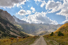 路通过与吃草的母牛的一个谷 库存图片