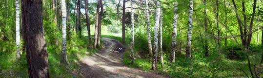路通过桦树森林--夏天风景,全景 免版税图库摄影