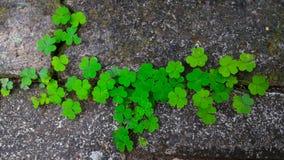 路面的三叶草植物 免版税库存图片