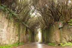 路TF-134在Anaga农村公园-罕见的古老月桂树森林und 库存照片