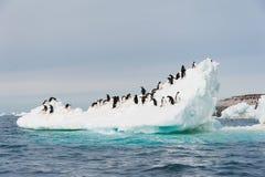 跳从冰山的Adelie企鹅 免版税库存照片