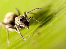 跳仿造蜘蛛的蚂蚁 图库摄影