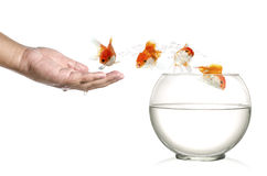 跳出人的棕榈的金黄鱼和入在白色隔绝的fishbowl 库存图片