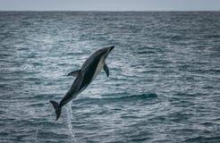 跳出在Kaikoura鲸鱼手表游览中的海豚水 库存照片