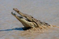 跳出水的美洲鳄 免版税图库摄影