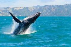 跳出水的驼背鲸 免版税库存图片