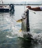 跳出水的Caye填缝隙工,伯利兹的大海鲢鱼 免版税库存图片