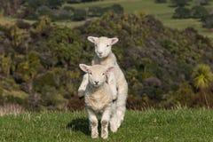 跳动的羊羔 免版税库存照片
