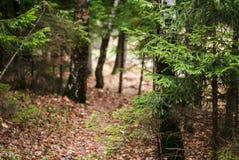 跳动道路在杉木森林里 免版税图库摄影
