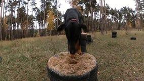跳在从轮胎的桌上的短毛猎犬用沙子和狗训练填装了在森林 股票录像