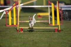 跳在敏捷性路线的狗 库存照片