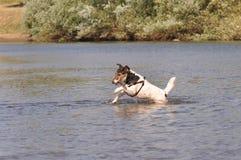 跳在河的狗 库存图片