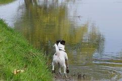 跳在河的狗 免版税库存图片