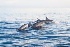 跳在海豚海滩Lovina,巴厘岛的海豚 库存照片