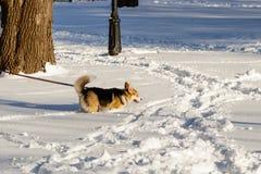 跳在雪的狗 免版税库存照片