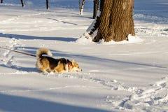 跳在雪的狗 免版税库存图片