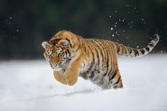 跳在雪的老虎 免版税库存照片