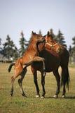 跳在晴朗的牧场的驹 免版税图库摄影