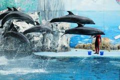 跳在水池的海豚在展示期间 免版税库存照片