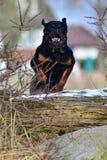 跳日志的Rottweiler 免版税库存照片