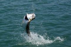 跳的大海鲢-用假蝇钓鱼 免版税库存图片