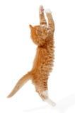 跳的小猫 免版税库存照片
